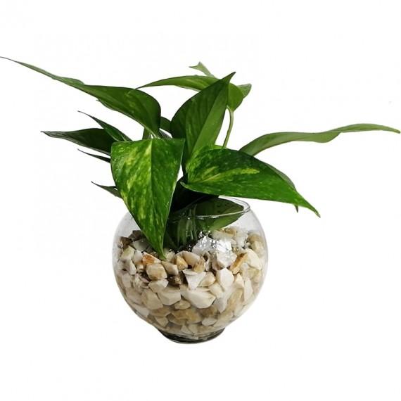 Boa Plant in Glass Vase