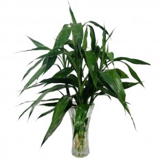 Lucky Bamboo in Large Glass Vase Model 2
