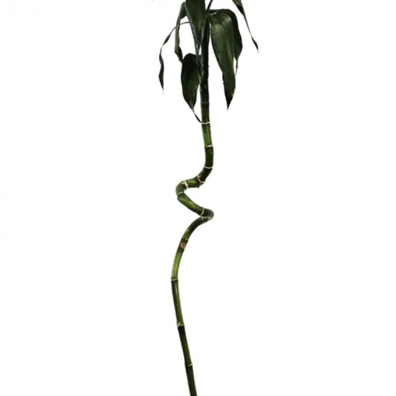 """""""Twisted"""" Lucky Bamboo Stem 120 cm"""
