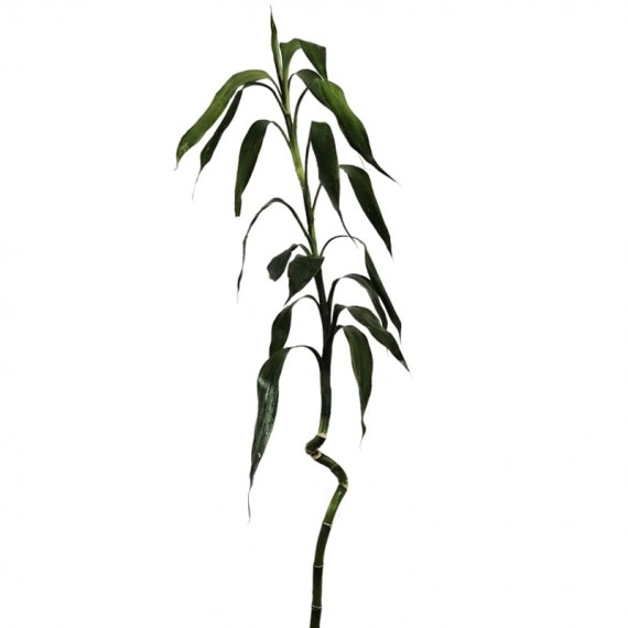 """""""Twisted"""" Lucky Bamboo Stem 80 cm"""