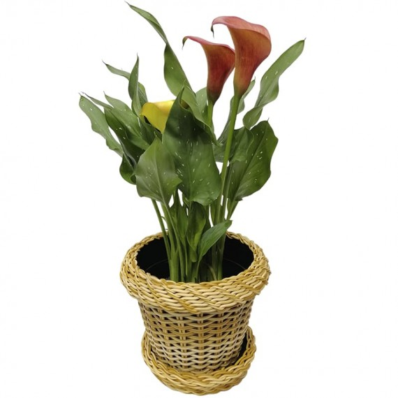 Flower Cup Milk  in Synthetic Ratan Vase
