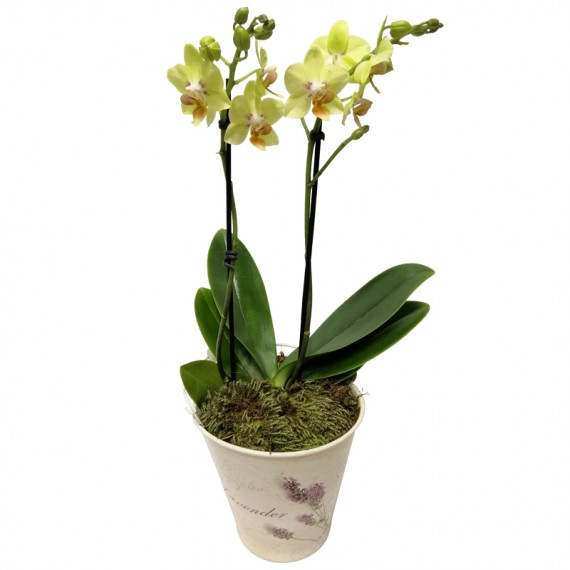 Mini Yellow Orchid in Floral Cachepot II