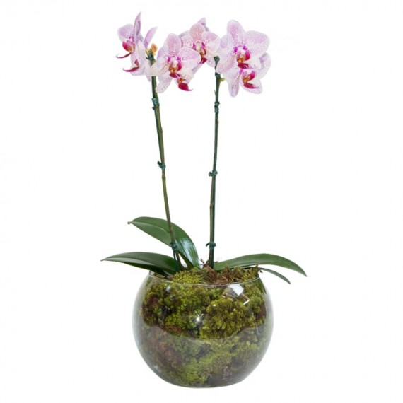 Mini White and Pink Orchid in Round Glass Vase