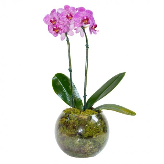 Lilac Mini Orchid in Round Glass Vase