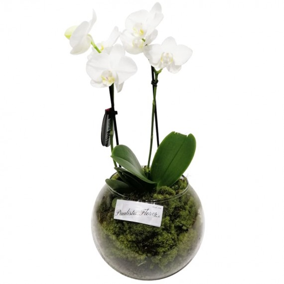 Mini White Orchid in Round Glass Vase