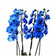 Orquídea Azul em Vaso de Rattan Sintético - 04 hastes