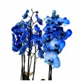Orquídea Azul em Vaso de Rattan Sintético - 06 hastes
