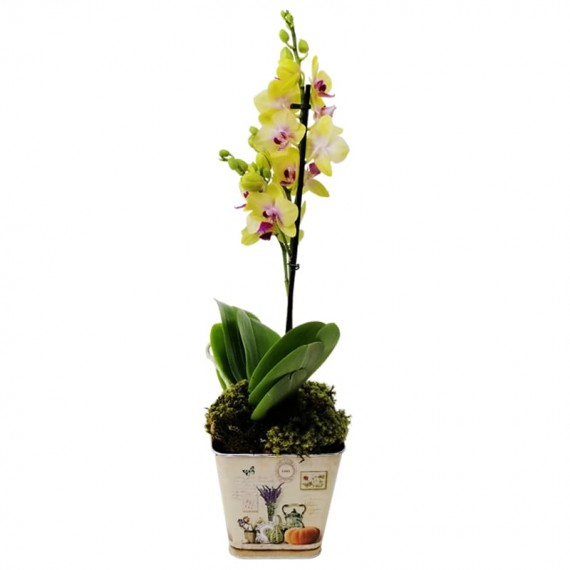 Medium Yellow Orchid in Cachepot model 2