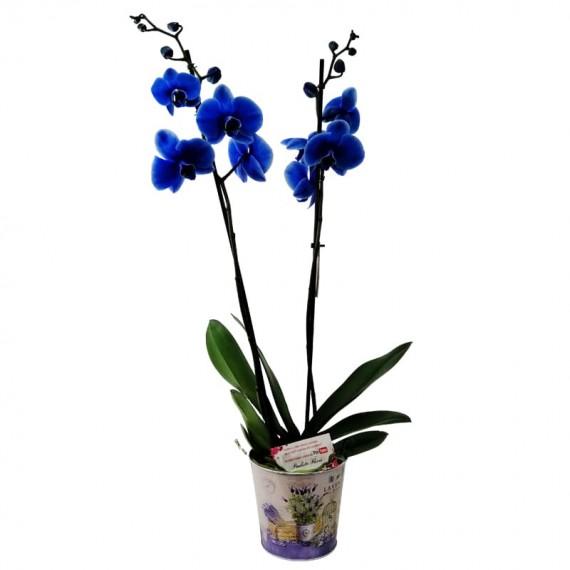 Medium Blue Orchid in Cachepot model 2