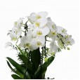 Orquídea com Musgo, planta Chamaedorea e Suculenta