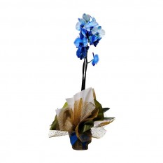 Blue Orchid Phalaenopsis Potted Plant