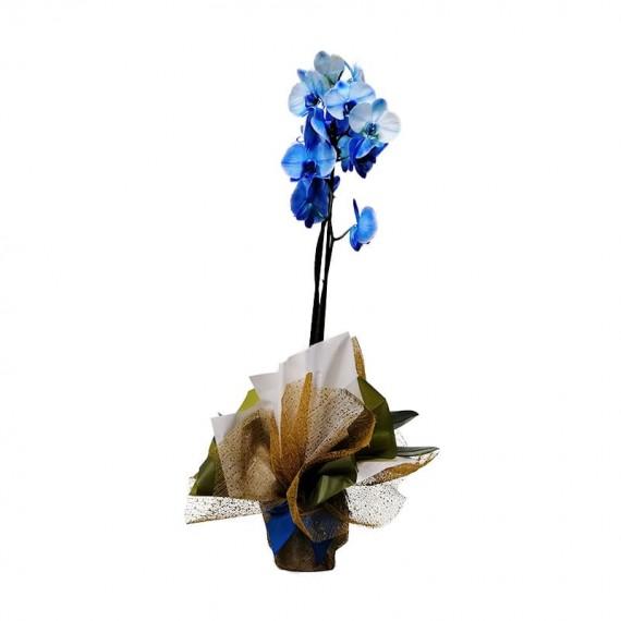 Orquidea Azul Phalaenopsis Plantada em vaso