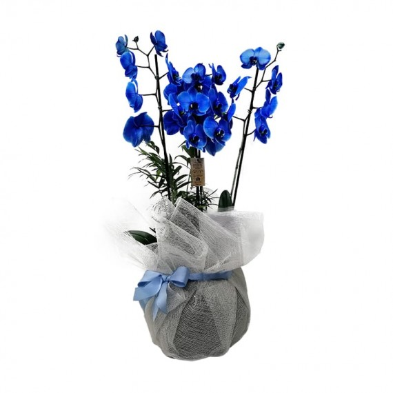 Orquídea Azul em Vaso Grande de Vidro