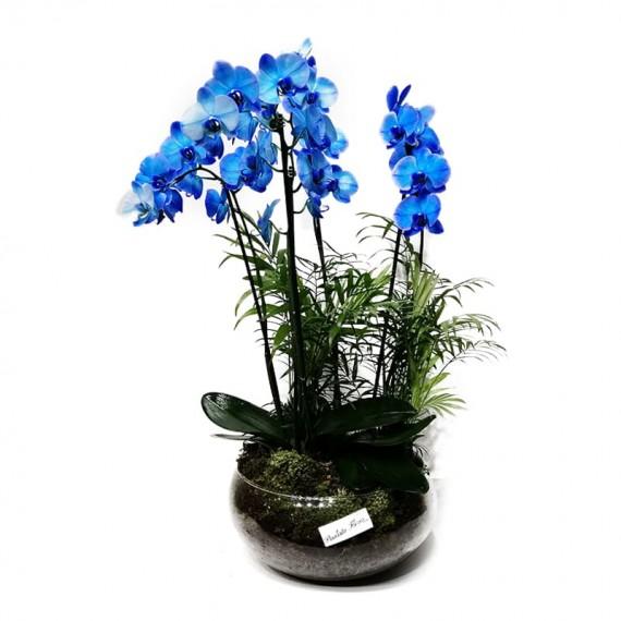 Orquídea Phalaenopsis Azul em Vaso Grande de Vidro - 4 hastes