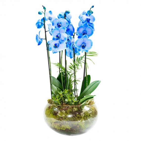 Blue Phalaenopsis Orchid 2 in Large Glass Vase - 4 rods