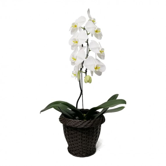 Orquídea Cascata Phalaenopsis Branca em vaso de Rattan Sintético
