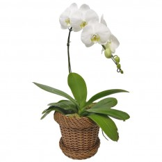 White Phalaenopsis Cascade Orchid in Light Synthetic Rattan Vase