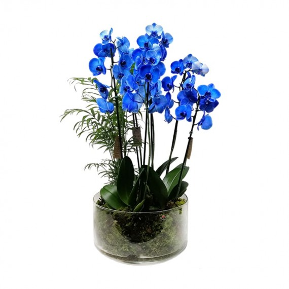 Arranjo Grande Orquídeas Azul com 3 vasos plantadas em Vaso de Vidro
