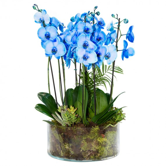 Blue Orchid planted in large glass vase
