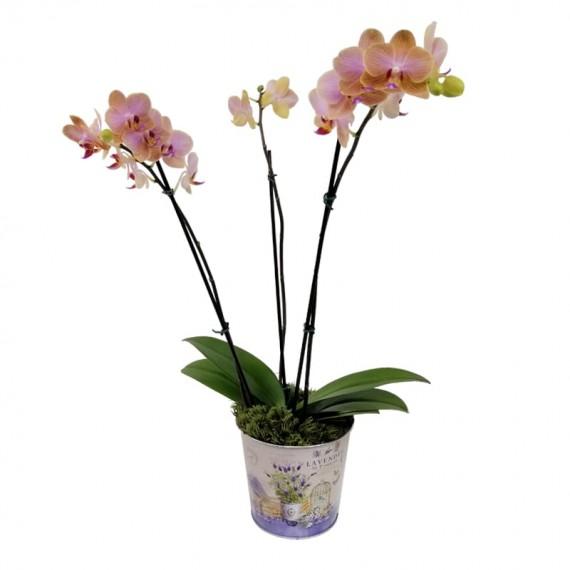 Orquídea Plantada cor Salmão Média em Cachepot Lata