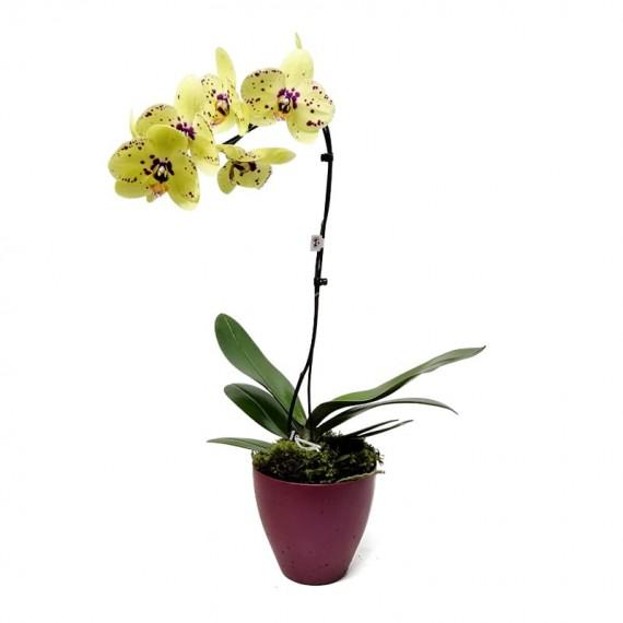Orquídea Phalaenopsis Amarela em vaso com uma haste