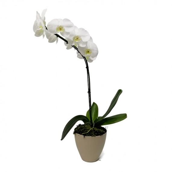 Orquídea Phalaenopsis Branca em vaso com uma haste