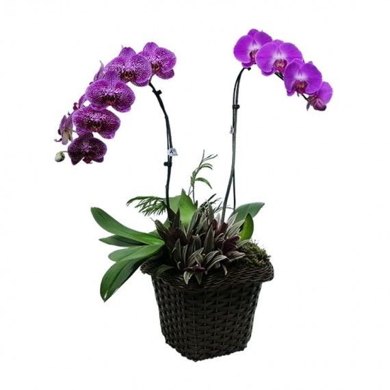 Orquídea Phalaenopsis Roxa em vaso de Rattan Sintético