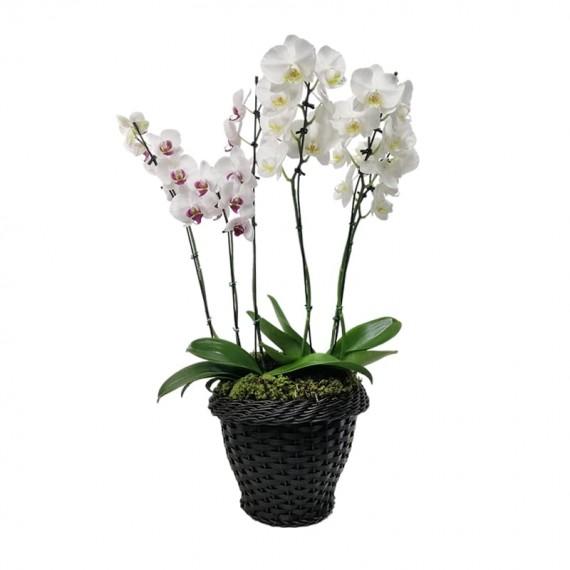 Arranjo com 02 vasos de  Orquídeas em vaso de Rattan Sintética