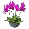 Orquídeas Roxas em vaso vietnamita