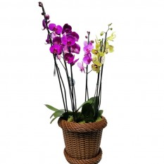 Purple and Yellow Orchids in Synthetic Ratan Vase