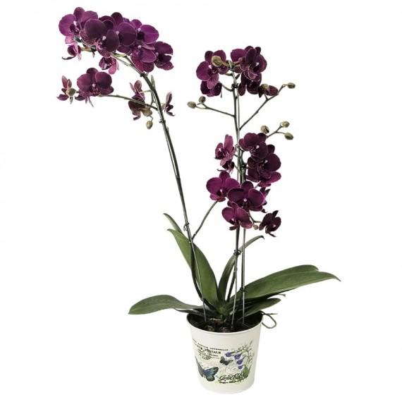Medium Purple Orchid in Cachepot model 1