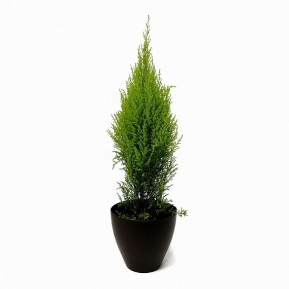Small Christmas Pine