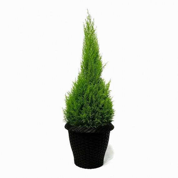 Large Christmas Pine