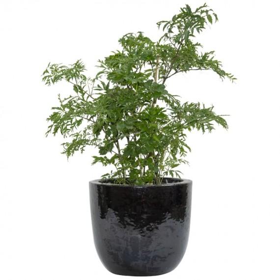 Black Vietnamese Vase of Happiness Tree
