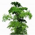 Árvore da Felicidade em Cachepot de Rattan Sintético