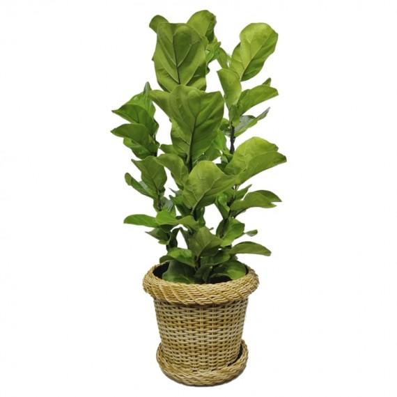 Planta Ficus Lyrata