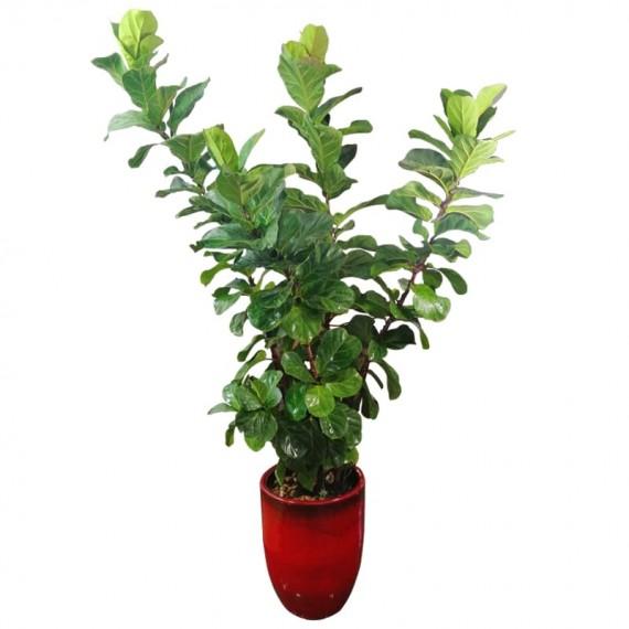 Ficus Lyrata Large Potted Vietnamese