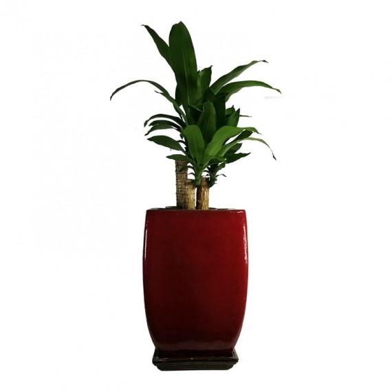 Vase of Dracena Pau D'Água